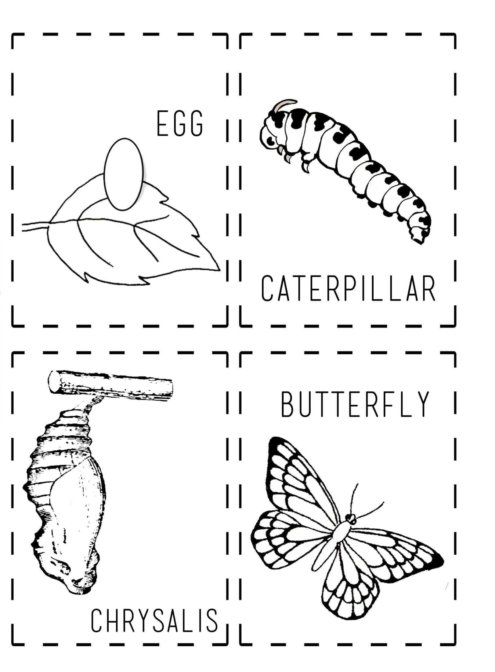 Kelebeğin Oluşum Aşamaları Boyama Bahattinteymuriom